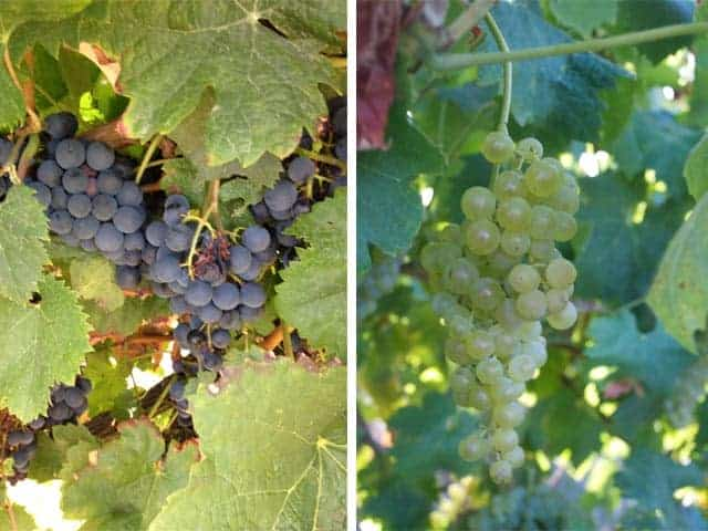 Cognac Grapes