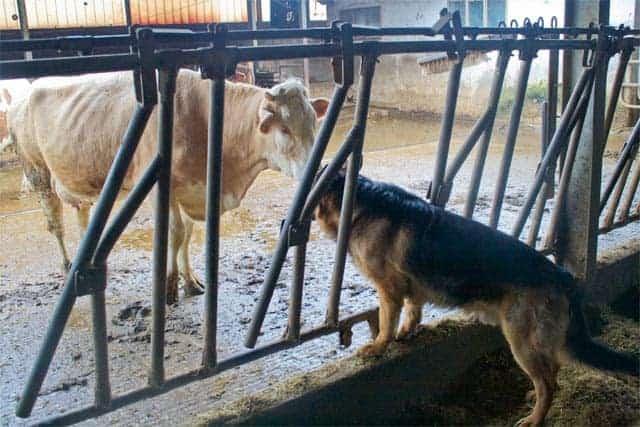 Azienda Agricola Borg da Ocjs - Dogs and cows