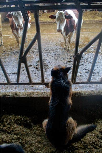 Azienda Agricola Borg da Ocjs - dogs watching over cows