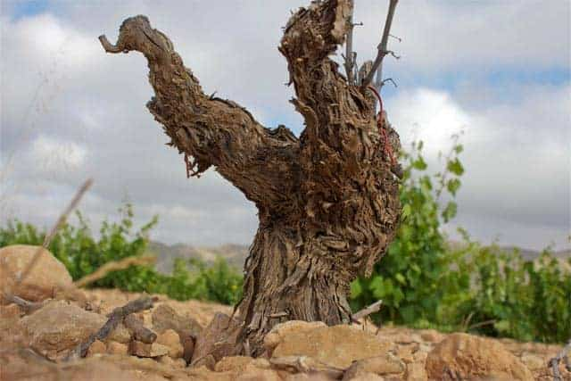 Monastrell vine up close