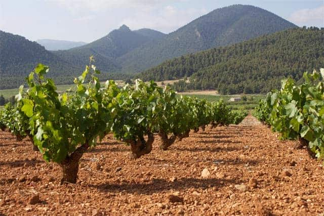 Monastrell vineyards in Bullas
