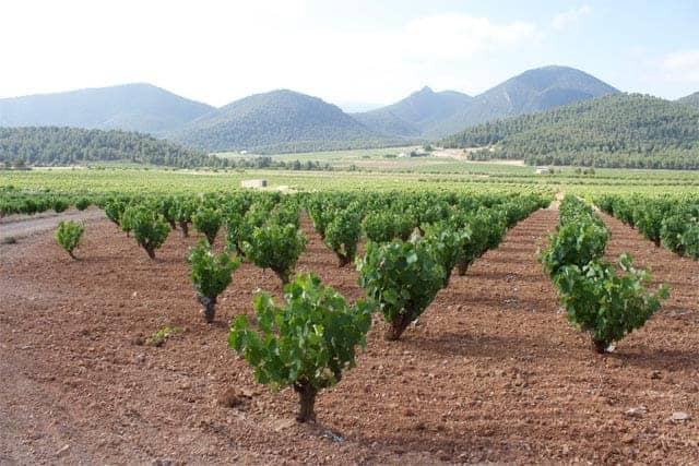 Vineyard in Bullas Spain