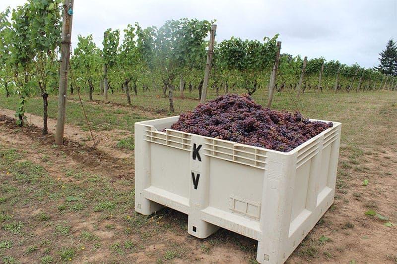 Kramer Oenocamp_grapes