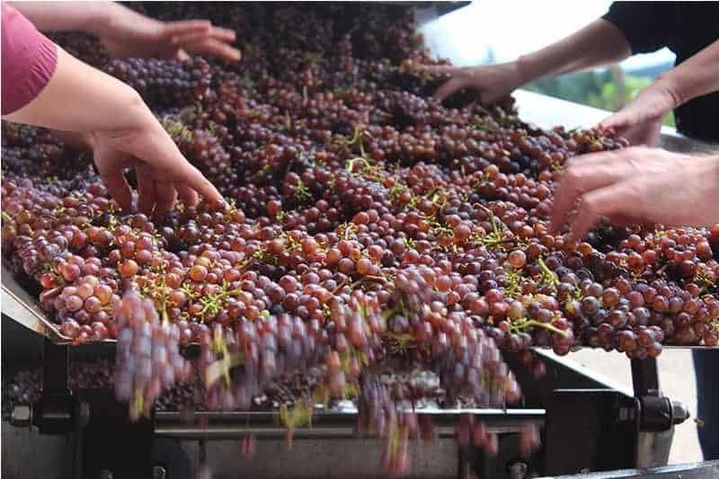 Kramer Oenocamp_sorting grapes