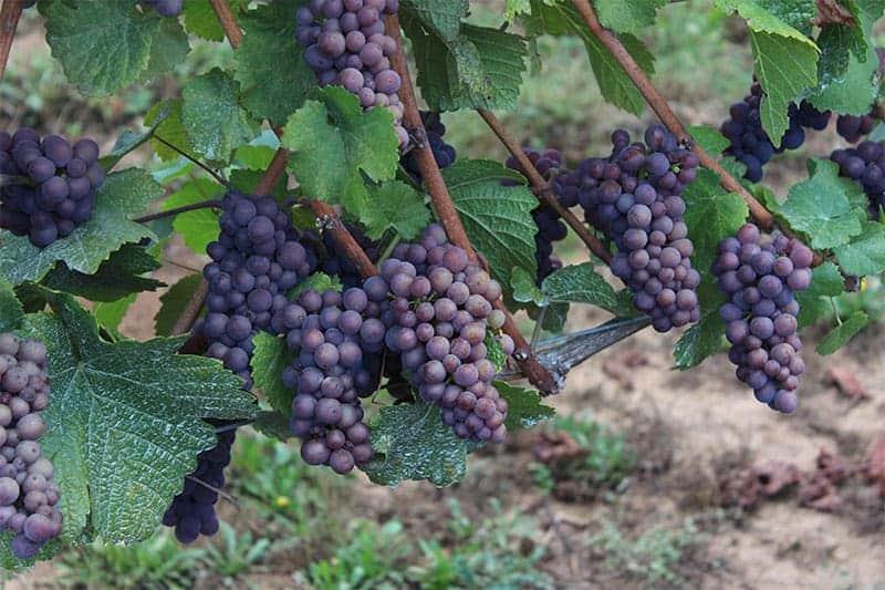 Kramer Vineyards Pinot Gris grapes 2