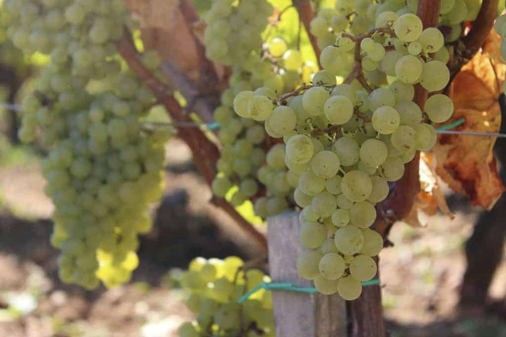 Sémillon grapes before botrytis