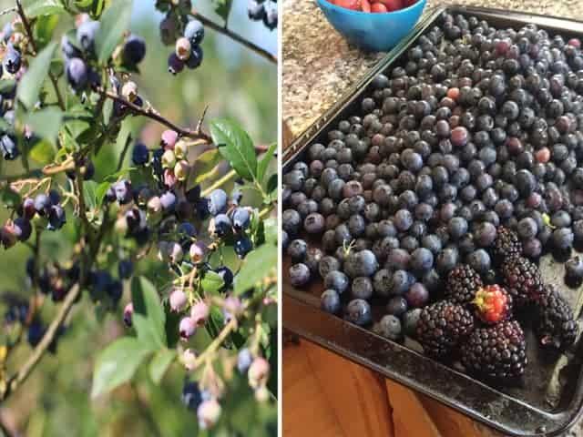 Blueberry-Overload