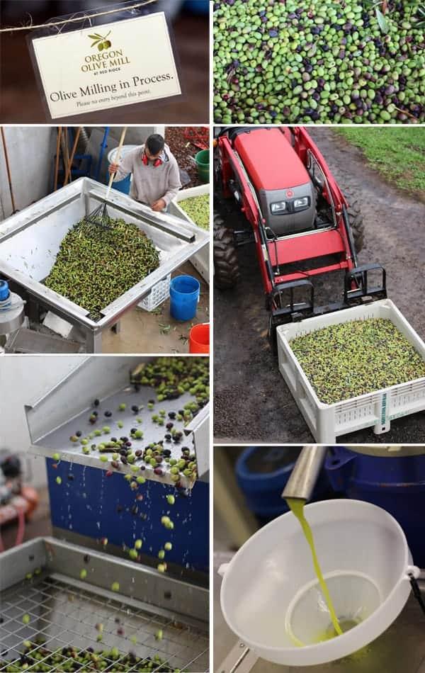 Olive Oil Harvest at Oregon Olive Mill
