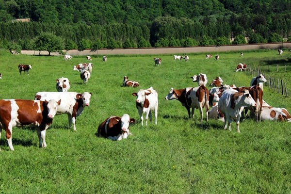 Montbéliarde Cows