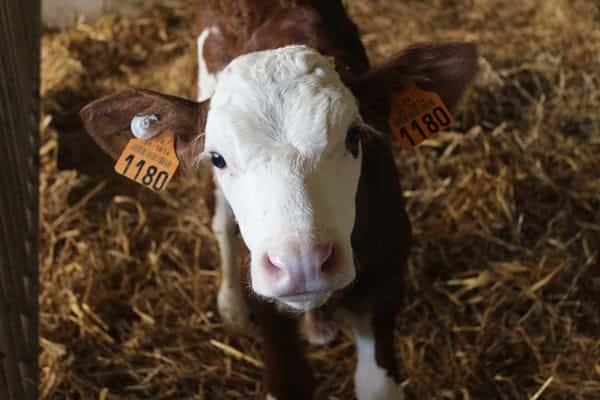 Young Montbéliarde Cow