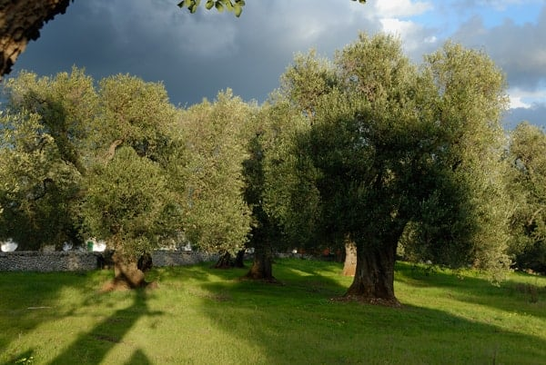 Olive groves at Masseria Il Frantoio