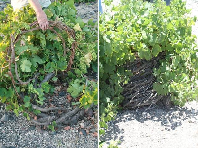 Basket vines side by side