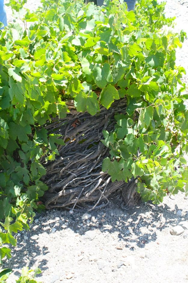 old-vine-many-rings
