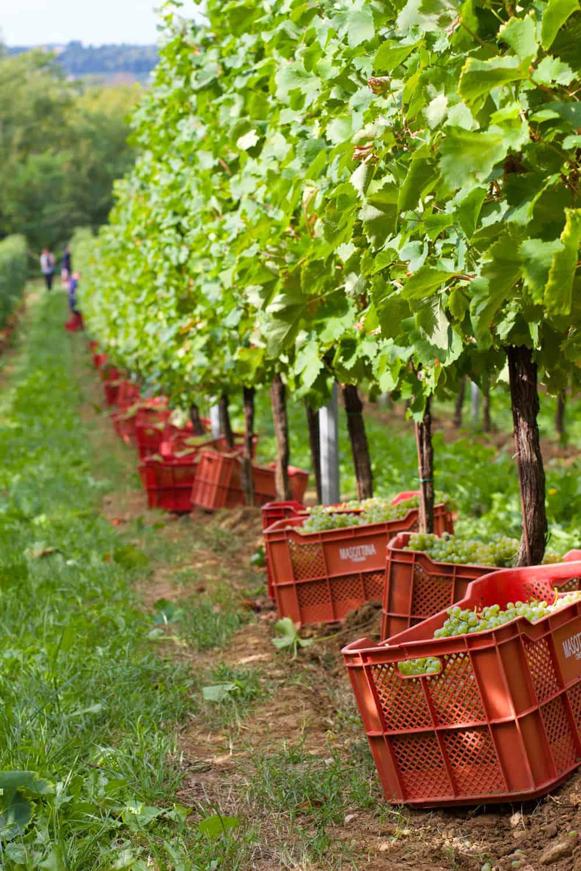 Harvest in Prosecco