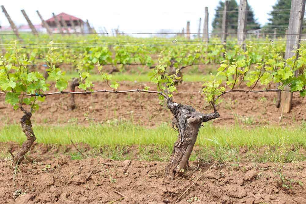 Estate Vineyard at Brooks Winery