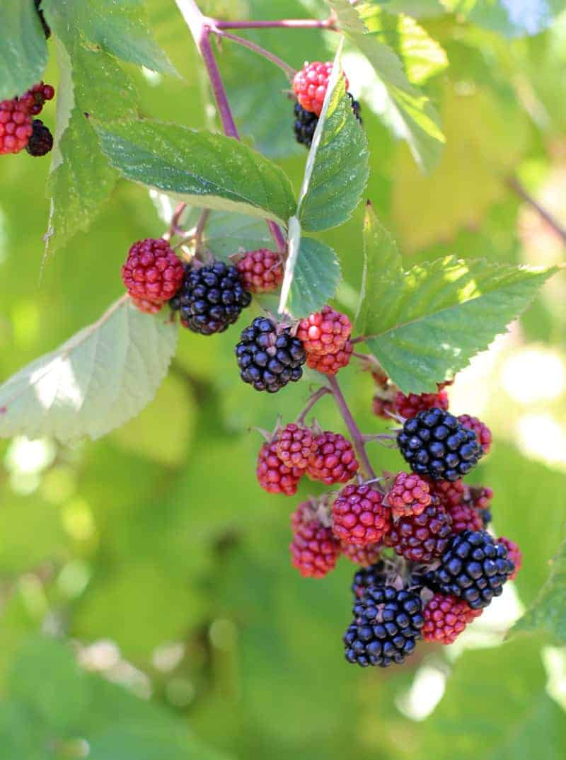 Berry-Picking-in-Portland-Oregon