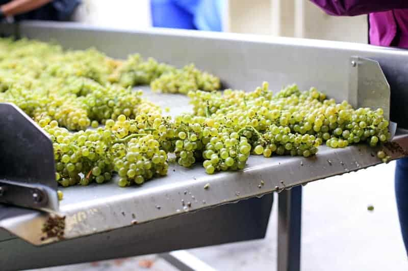 Sorting wine grapes at Telaya Winery in Idaho