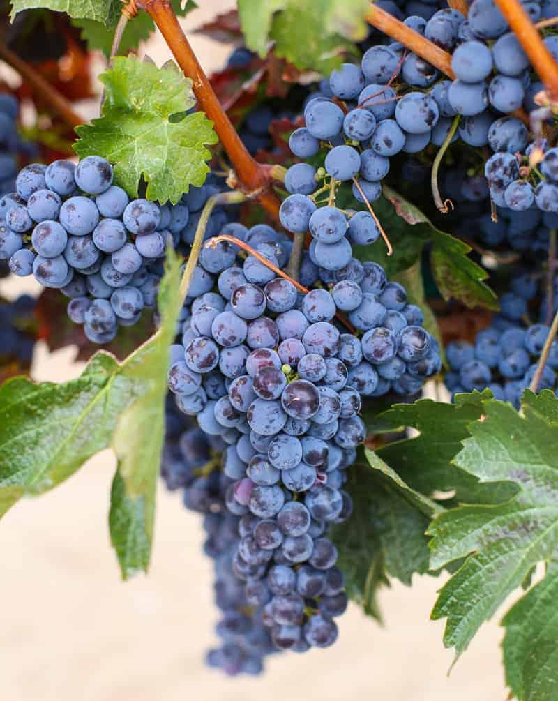 Wine Grapes in Idaho