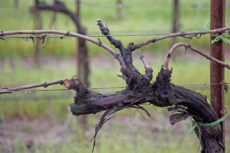 Close up Old Vine at Rodney Strong