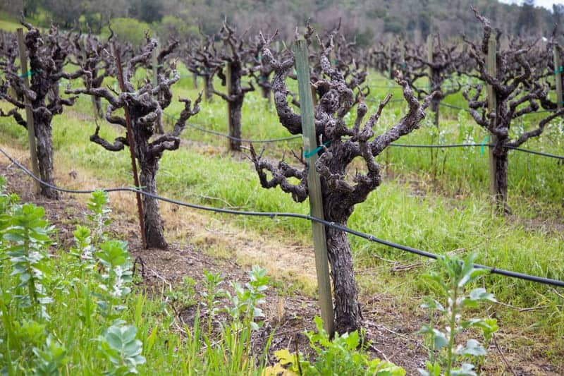 Old Vine Zinfandel Vineyard at Rodney Strong