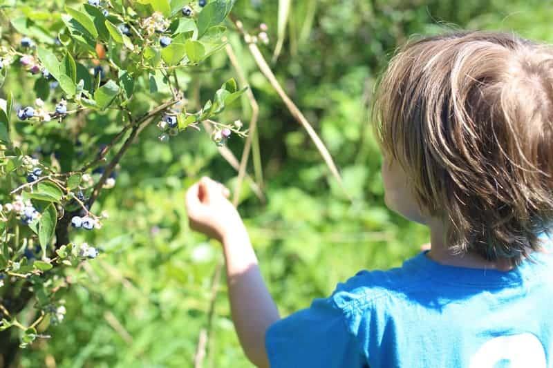 Blueberry Picking in Oregon at Bella Organic Farm