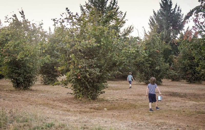 Walking in a Hazelnut Orchard