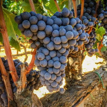 Red Grapes in Italy used for Rosé Wine
