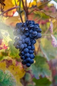 Pinot Noir grapes in Bourgogne France
