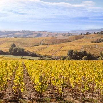 Vineyard in Bourgogne (Burgundy) France
