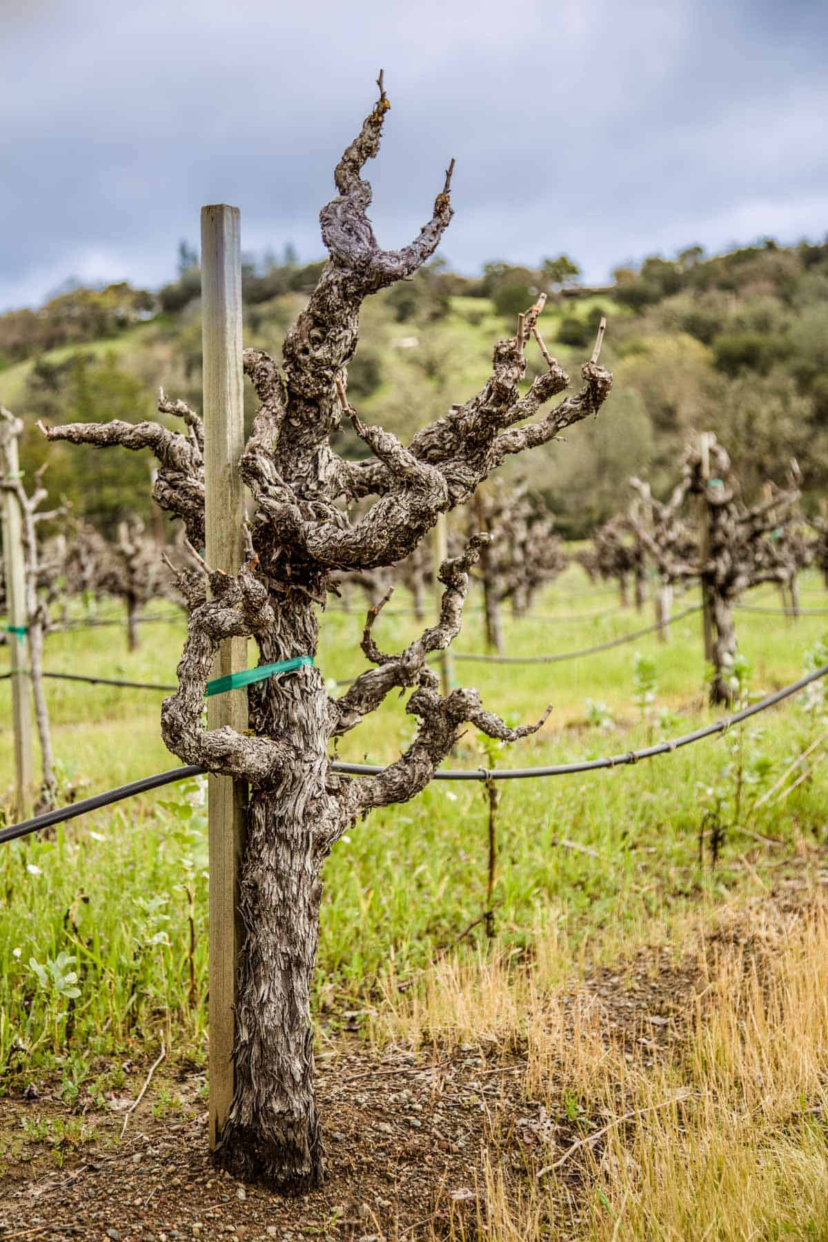 Old knarly zinfandel vines in a vineyard
