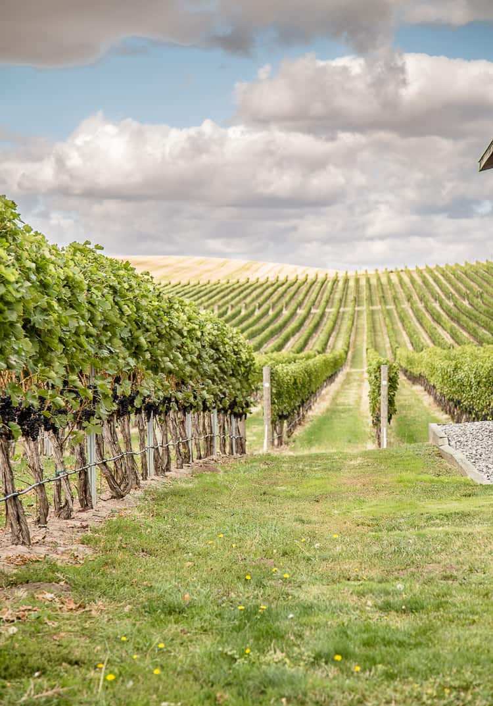 A Syrah vineyard in Washington State's Walla Walla Valley