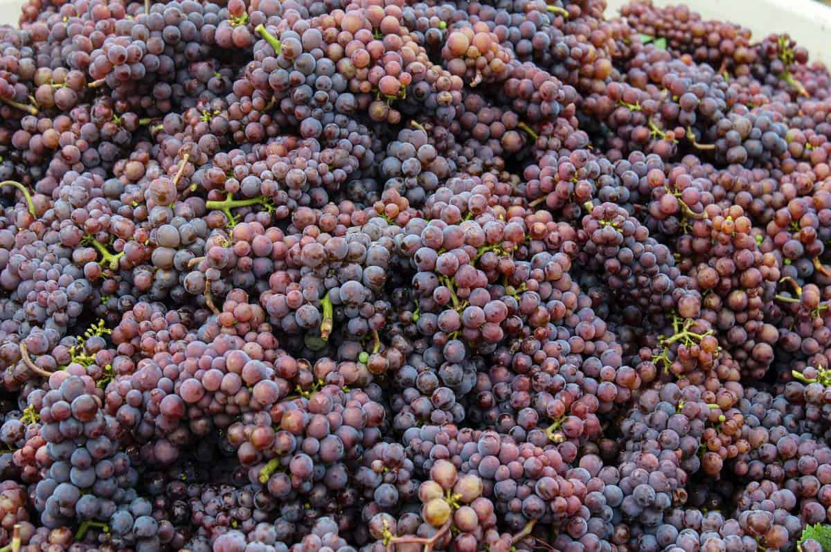 Freshly harvested wine grapes (pinot gris)