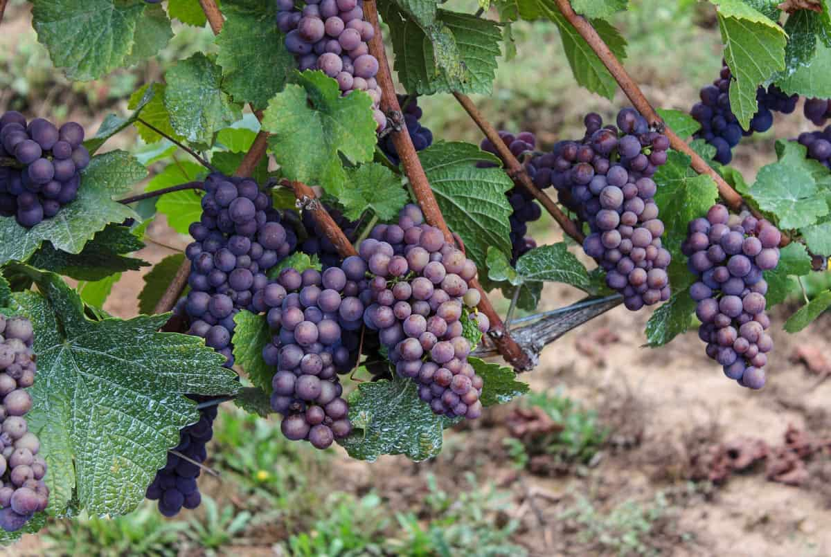 Pinot Gris wine grapes on the vine