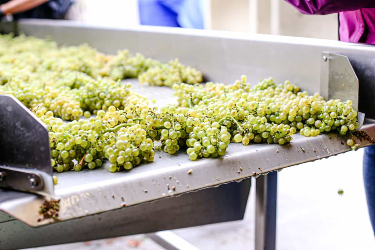 Sauvignon Blanc Wine Grapes on a Sorting Table at harvest