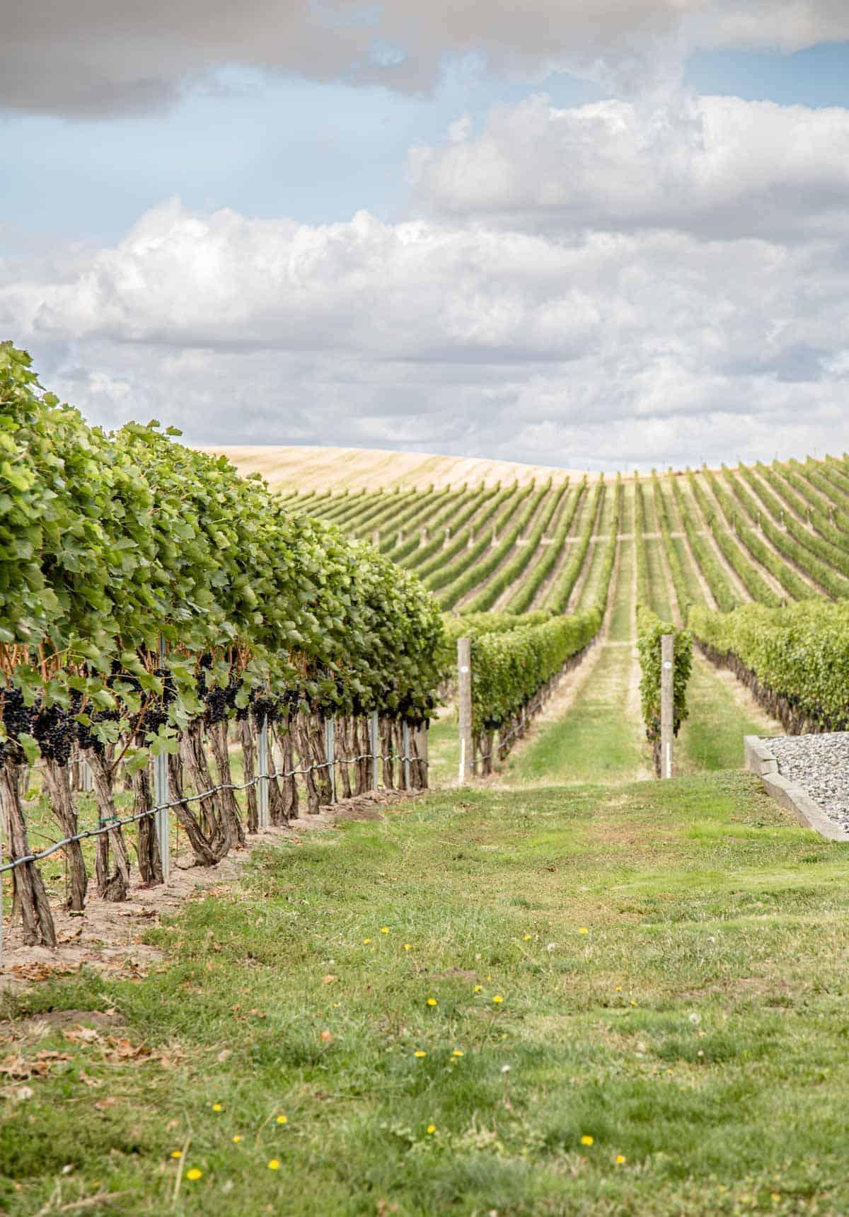 Vineyard in Walla Walla Washington